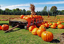 Pumpkin_Fieldsm